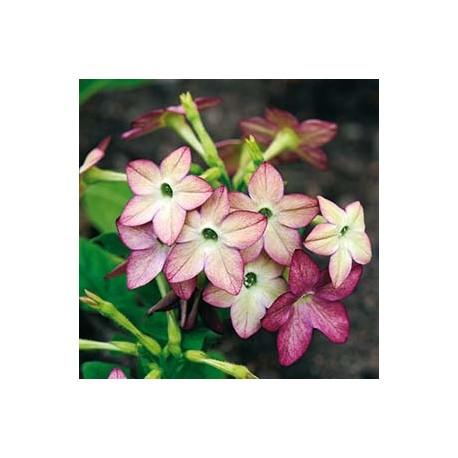Blomstertobak 'Avalon Lime/Purple Bicolour' F1 frö 1-pack