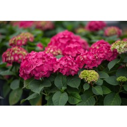 HORTENSIA Endless Summer 'Summerlove' 1-pack