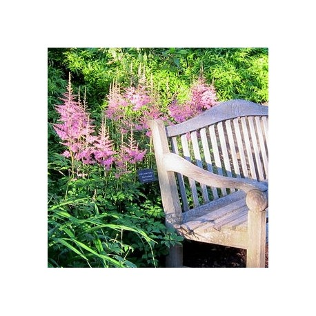 ASTILBE 'BRESSINGHAM BEAUTY' 1-PACK