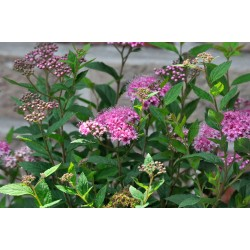 BROKSPIREA buske 10-PACK