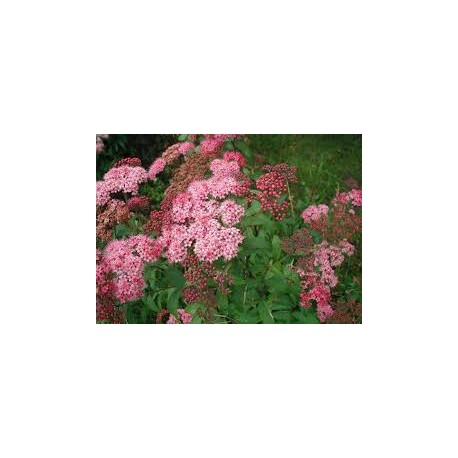ROSENSPIREA buske 1-PACK