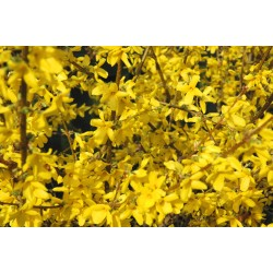 FORSYTHIA 'NORTHERN GOLD' buske 1-PACK