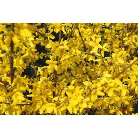 FORSYTHIA 'NORTHERN GOLD' buske 1-PACK