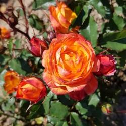 SWEET FAMILY Roses Forever 5-PACK