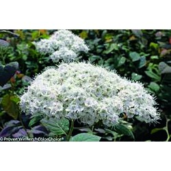 SPIREA 'DOUBLE PLAY BLUE KAZOO' 1-PACK