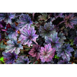 ALUNROT 'FROSTED VIOLET' 1-PACK