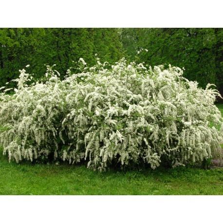 NORSK SPIREA buske 100-PACK (Storpack)