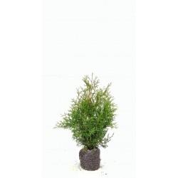 THUJA 'BRABANT' häck/busk 80-100 cm kl 10-PACK
