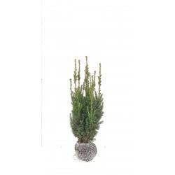 IDEGRAN, 50-60 cm buske (krukodl.) 1-PACK