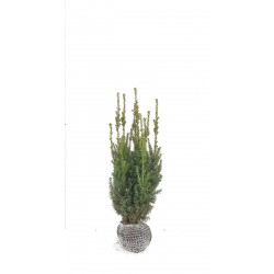 HYBRIDIDEGRAN 'HILLII' 50-60 cm häck/buske kl 100-PACK