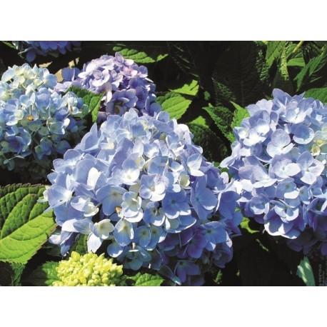 HORTENSIA Endl Summer 'The Original' buske 1-PACK