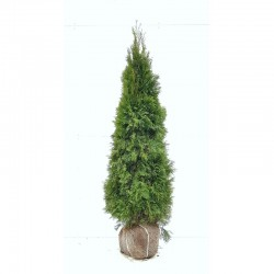 THUJA 'SMARAGD' 180-200 kl Extra 96-pack (Storpack)