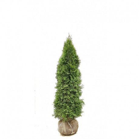THUJA 'SMARAGD' 140-160 kl Extra 96-pack (Storpack)