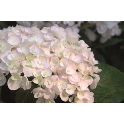 HORTENSIA Endless Summer 'The Bride' buske 1-PACK