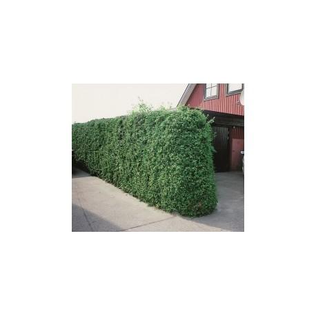 THUJA 'BRABANT' häck/busk 80-100 kl 100-pack (Storpack)