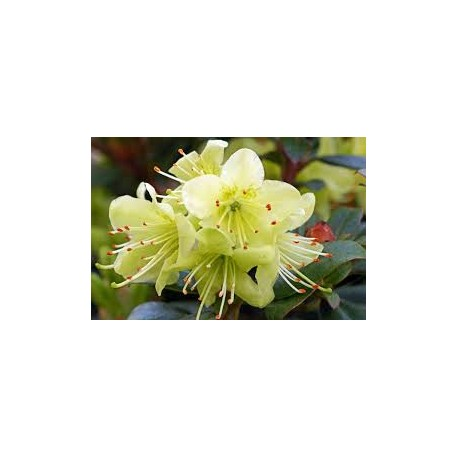 RHODODENDRON 'PRINCESS ANNE' 1-PACK