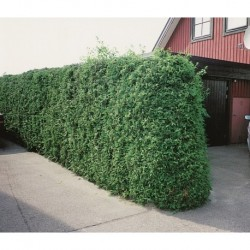 THUJA 'BRABANT' häck/busk 60-80 cm 100-pack (Storpack)