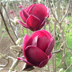 ROSENMAGNOLIA 'GENIE' buske 1-PACK