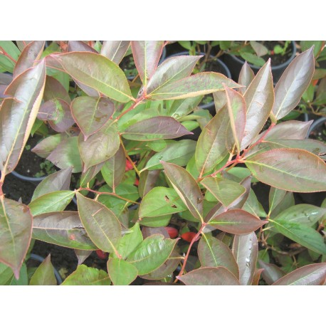 SVARTARONIA 'HUGIN' E, buske 10-pack
