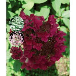 SYRENHORTENSIA 'WIMS RED' buske 1-PACK