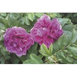 HANSA ros häck 10-pack (Slut för våren)