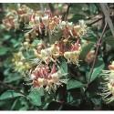 Övriga Klätterväxter / Klängväxter