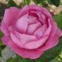 Historiska rosor