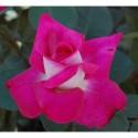 Storblommiga rosor