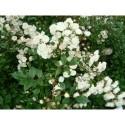 Marktäckande rosor - (Lev. i oktober - gäller barrotade rosor)