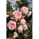 Klätterrosor/ Klängrosor - (Lev. i oktober - gäller barrotade rosor)