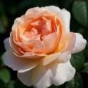 Easy Elegance & Roses Forever & Terassrosor
