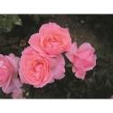 Vintage rosor - (Lev. från v.40 - gäller barrotade rosor)