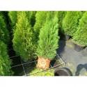 Häckväxter: Thuja och Idegran